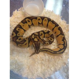Super Pastel Enchi Ball Python (M)