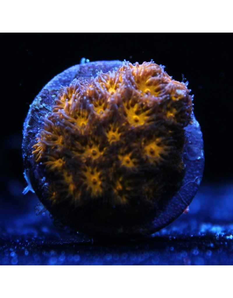 Riley's Reef - Jupiter Riley's Neon Orange Leptastrea