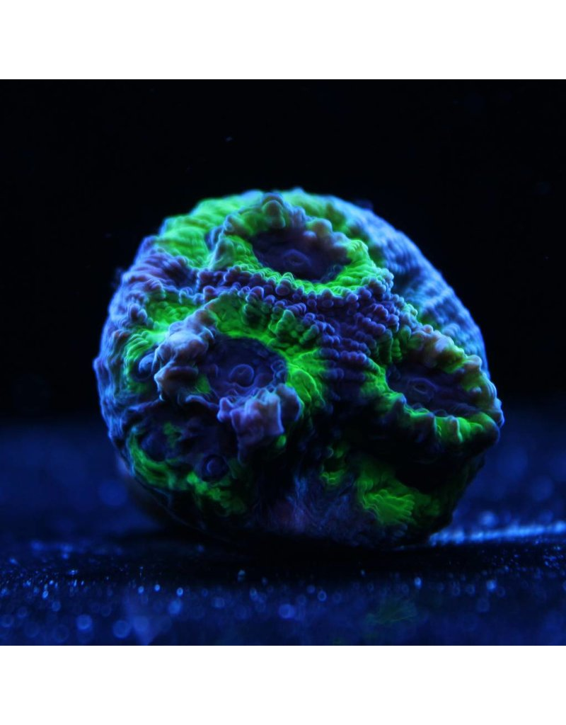 Riley's Reef - Jupiter Riley's Reef Joker Favia