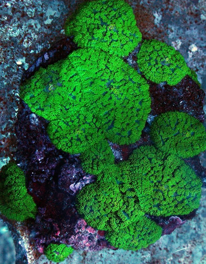 Green Hairy Mushroom (Rhodactis Sp.)