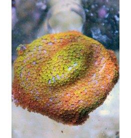 Rainbow Montipora (Montipora Sp.)