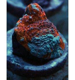 Riley's Reef - Jupiter Goku Chalice - WYSIWYG - 37A