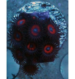 Riley's Reef - Jupiter Kedds Red Zoanthids - WYSIWYG - 3A