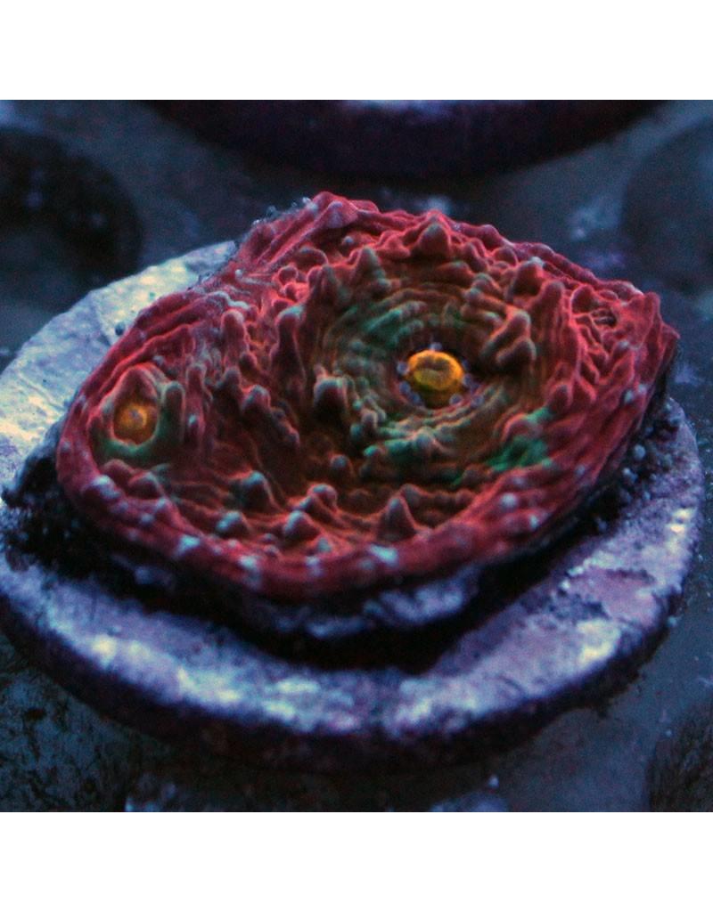 Riley's Reef - Jupiter Riley's Reef Pink Raptor Chalice