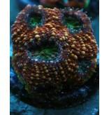 Riley's Reef - Jupiter Riley's Reef Burning Acan (Acanthastrea-Echinata)