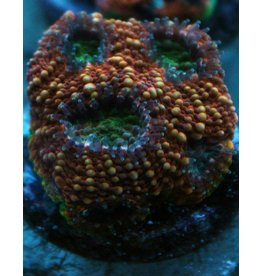 Riley's Reef - Jupiter Riley's Reef Burning Acan - WYSIWYG - 23A