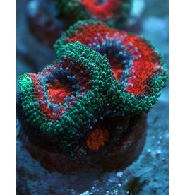 Riley's Reef - Jupiter Watermelon Acan - WYSIWYG - 17A