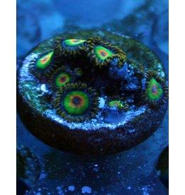 Riley's Reef - Jupiter Rasta Zoanthids