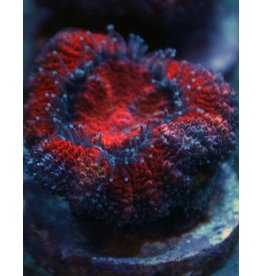 Riley's Reef - Jupiter Rainbow Acan (Acanthastrea-Echinata)