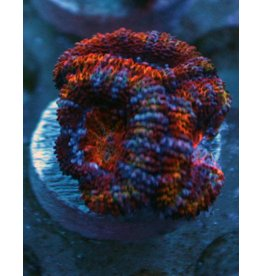 Riley's Reef - Jupiter Ultra Rainbow Acan - WYSIWYG - 13A