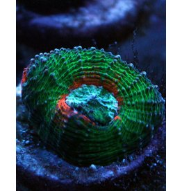 Riley's Reef - Jupiter Green and Orange Acan - WYSIWYG - 29A
