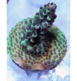 Green Acropora (Acropora Sp.)