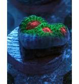 Riley's Reef - Jupiter Riley's Reef Sour Patch Mycedium