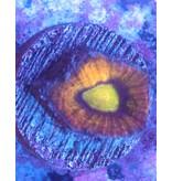 Riley's Reef - Jupiter Dragon Soul Favia (Favites Sp)