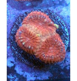 Riley's Reef - Jupiter Riley's Reef Terra Cotta Favia (Favites Sp)