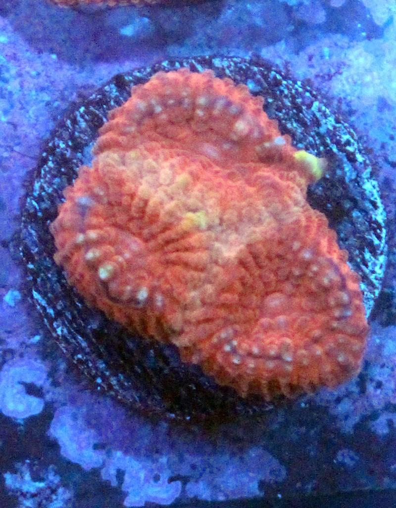Riley's Reef - Jupiter Riley's Reef Terra Cotta Favia (Favites Sp)