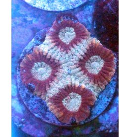 Riley's Reef - Jupiter Riley's Reef Ghost Favia (Favites Sp)