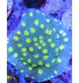 Riley's Reef - Jupiter Hollywood Stunner Chalice
