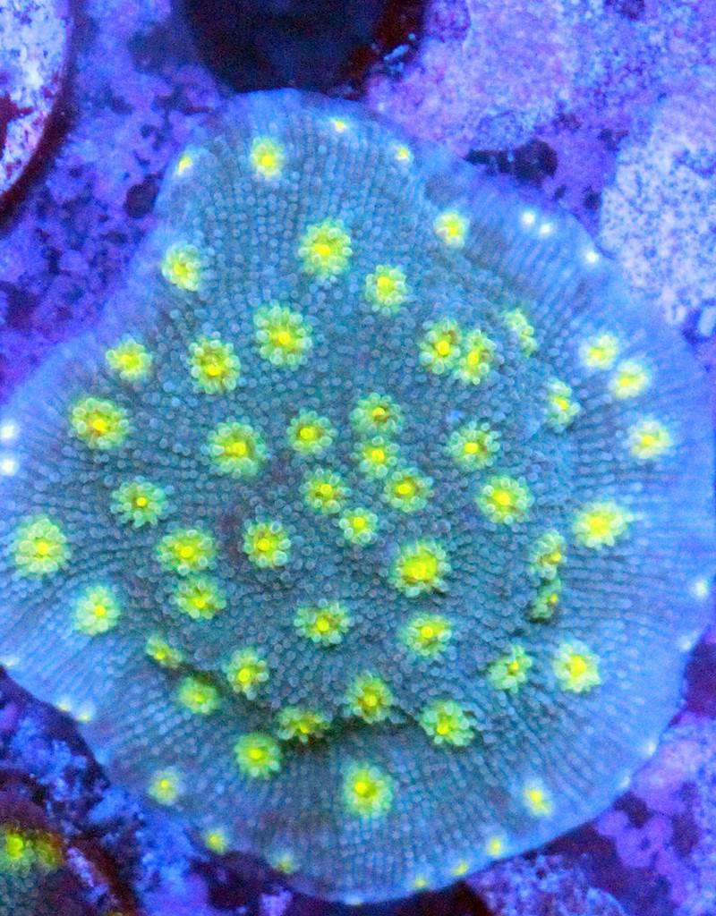 Riley's Reef - Jupiter Hollywood Stunner Chalice