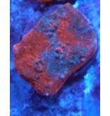 Riley's Reef - Jupiter Riley's Reef Raging Rojo Chalice