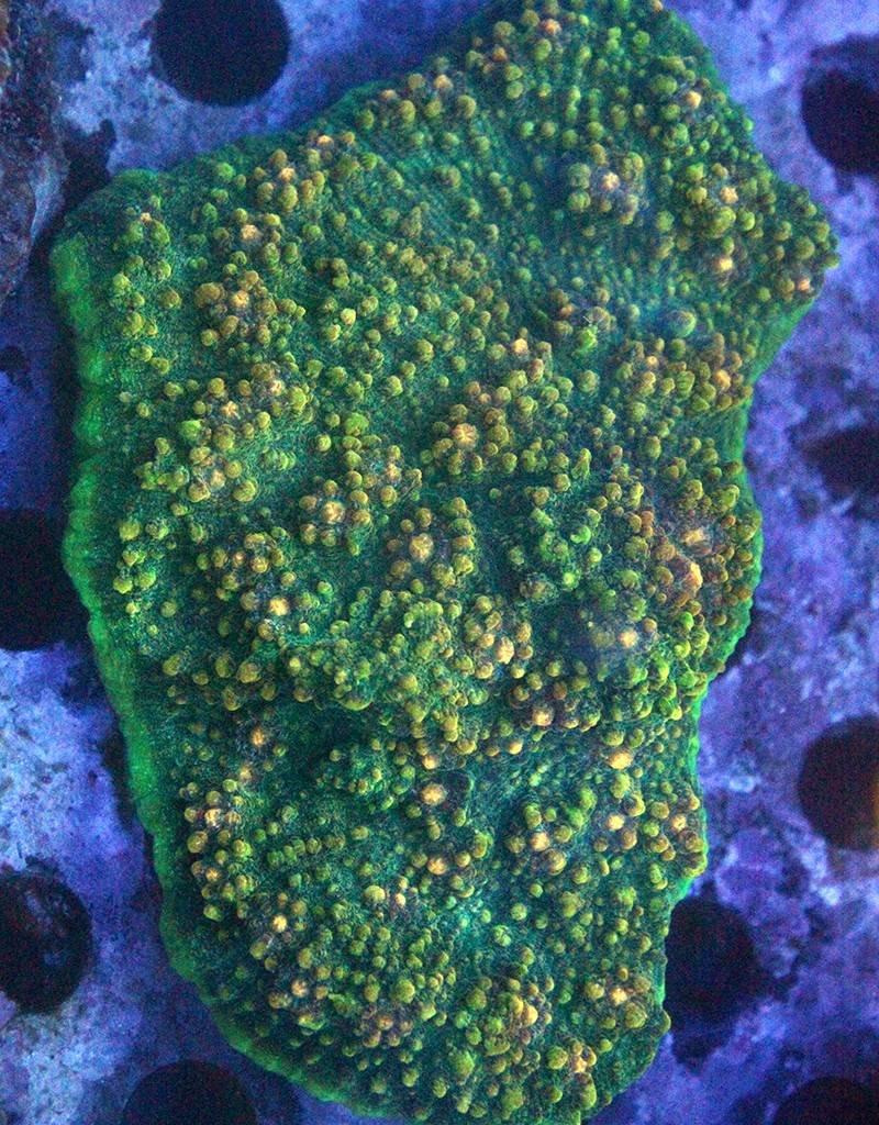 Riley's Reef - Jupiter Alien Splatter Chalice
