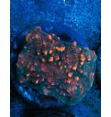 Riley's Reef - Jupiter Riley's Reef Sprinkles Chalice