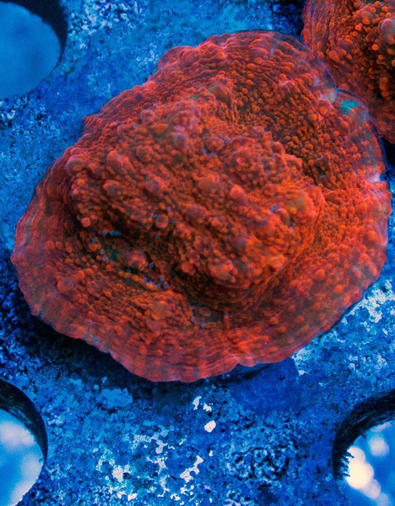 Riley's Reef - Jupiter Riley's Reef Blood Orange Chalice