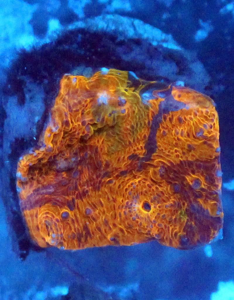 Riley's Reef - Jupiter Riley's Reef Painters Palette Chalice