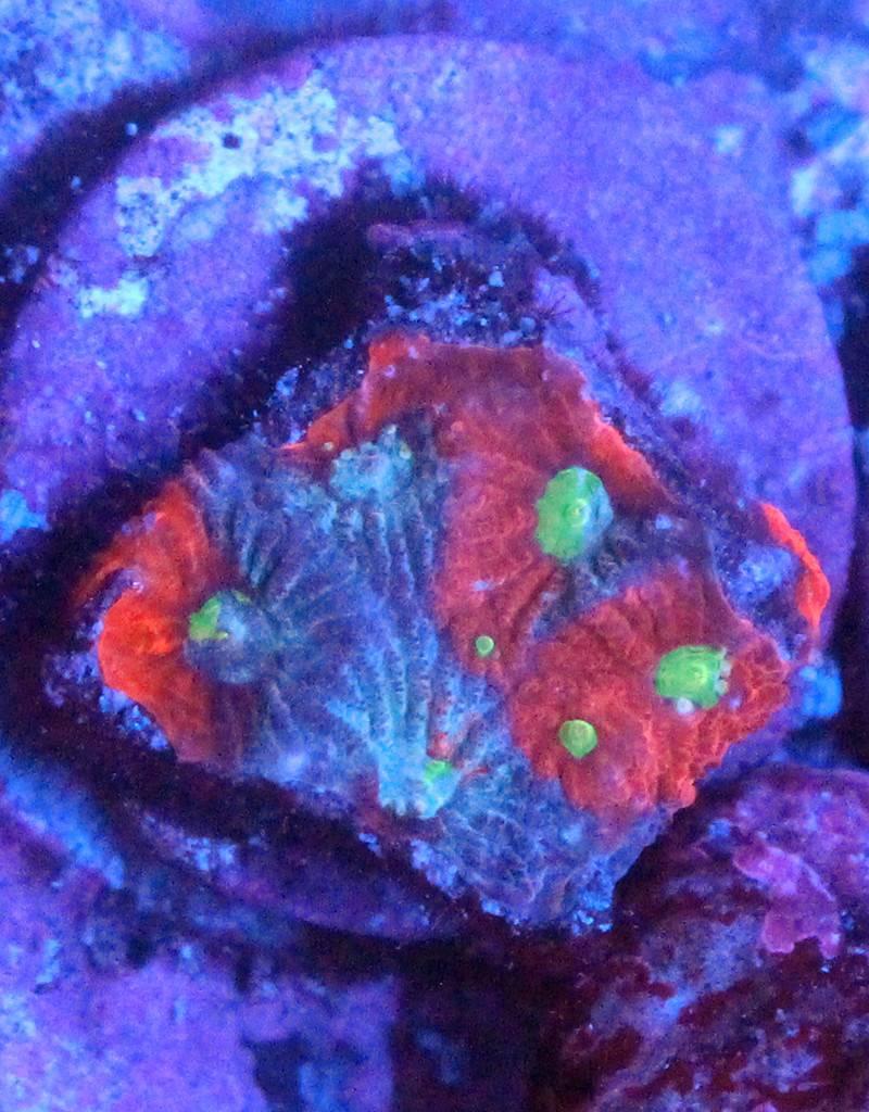 Riley's Reef - Jupiter Painted War Coral Favia  (Favites Sp)