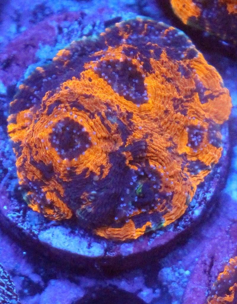 Orange Crush Acan (Acanthastrea-Echinata)
