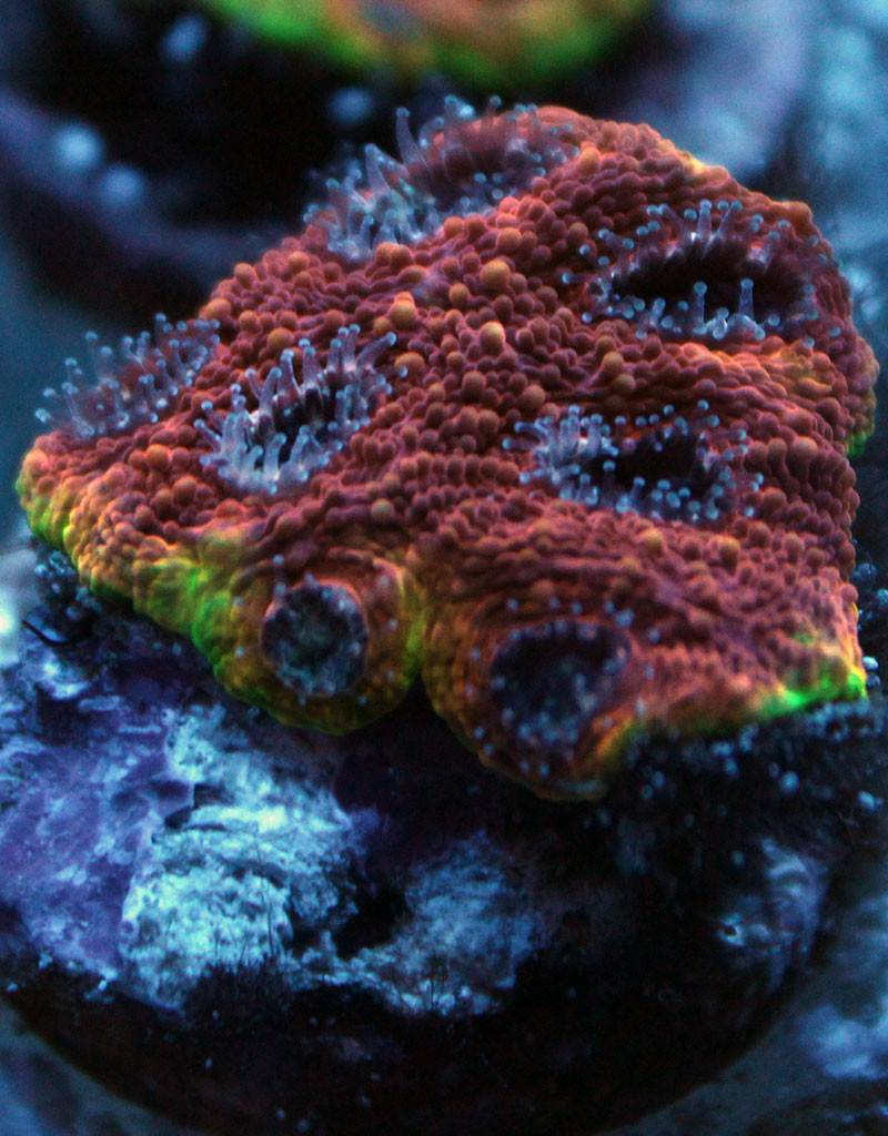 Riley's Reef - Jupiter Riley's Reef Electric Ring Acan (Acanthastrea-Echinata)