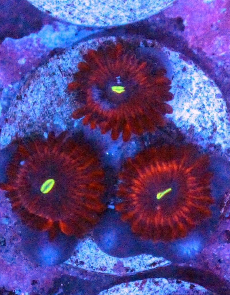 Riley's Reef - Jupiter Red People Eater Palythoas (Palythoa grandis)