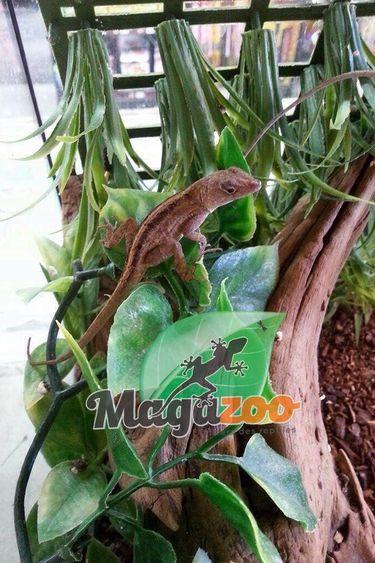 Magazoo Anolis brun