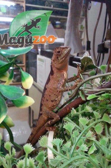 Magazoo Dragon de montagne nain