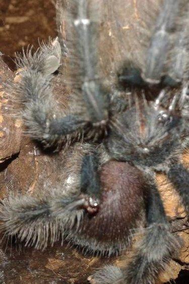 Magazoo Mygale a orteil rose Guyane/Avicularia avicularia