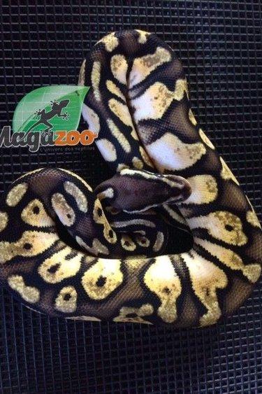 Magazoo Python Royal Calico Pastel Femelle