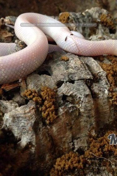 Magazoo Serpent roi de Californie (choco albino)