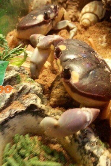 Magazoo Crabe halloween