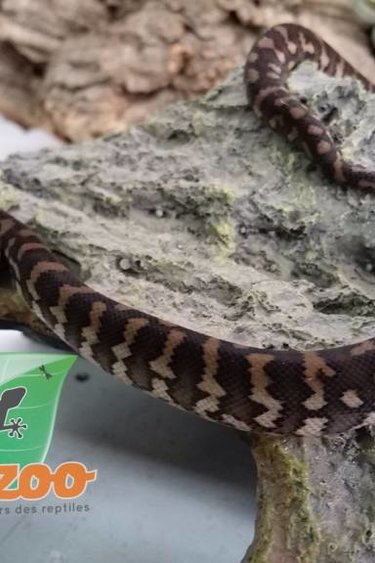 Magazoo Python tapis Jungle x Irian Jaya (bébé)
