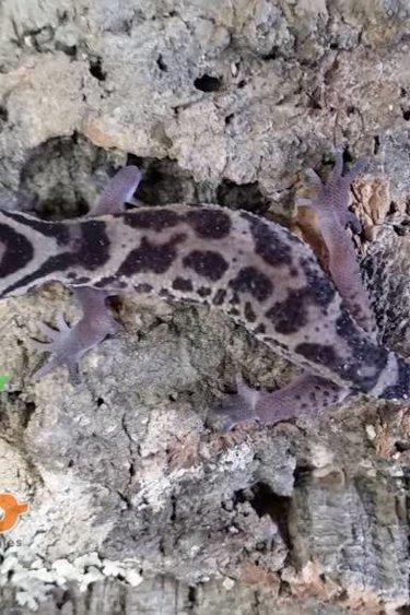 Magazoo Gecko à bandes du Nicaragua