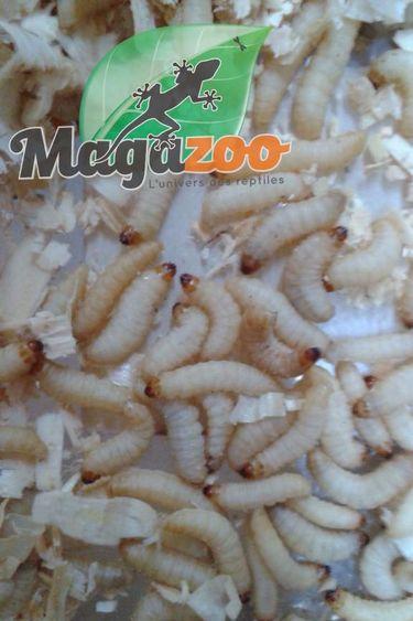 Magazoo vers ciré - wax worm