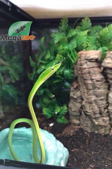 Magazoo Serpent des vignes