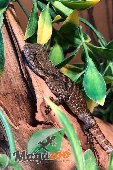Magazoo Dragon d'eau Australien bébé