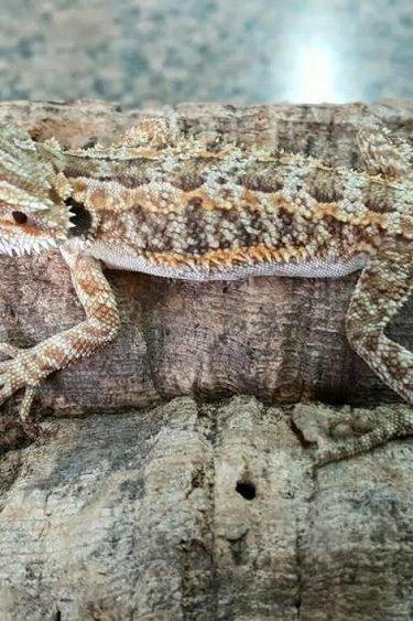 Magazoo Dragon barbu Bébé male