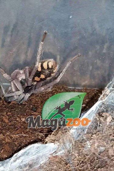 Magazoo Mygale Pumpkin patch