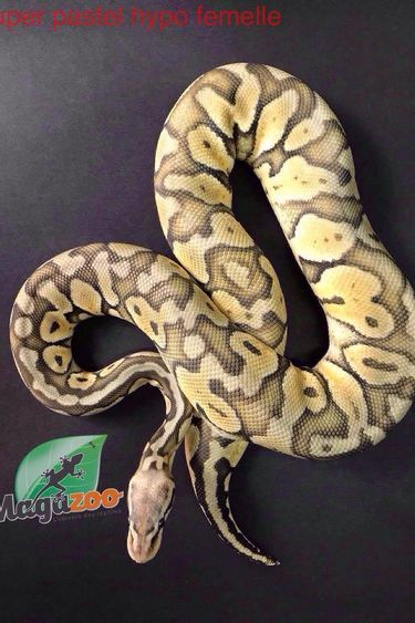 Magazoo Python royal super pastel hypo femelle