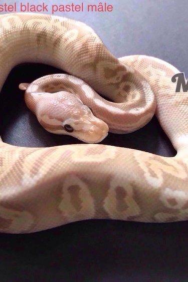 Magazoo python royal Banana super pastel black pastel male