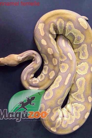 Magazoo Python royal Cinnamel femelle