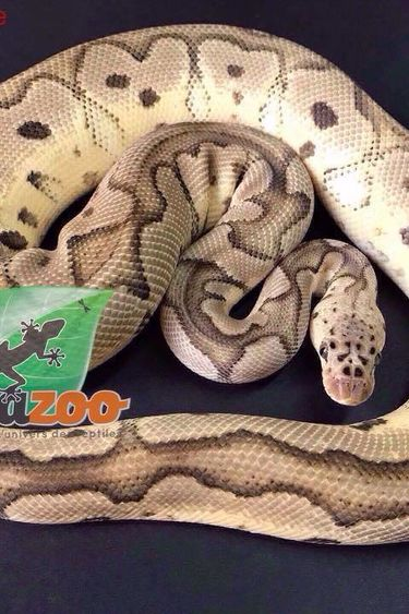 Magazoo Python royal Pastel clown mâle