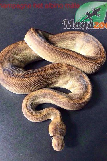 Magazoo Python royal Champagne het albino mâle